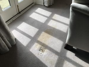 dog urine stain on carpet